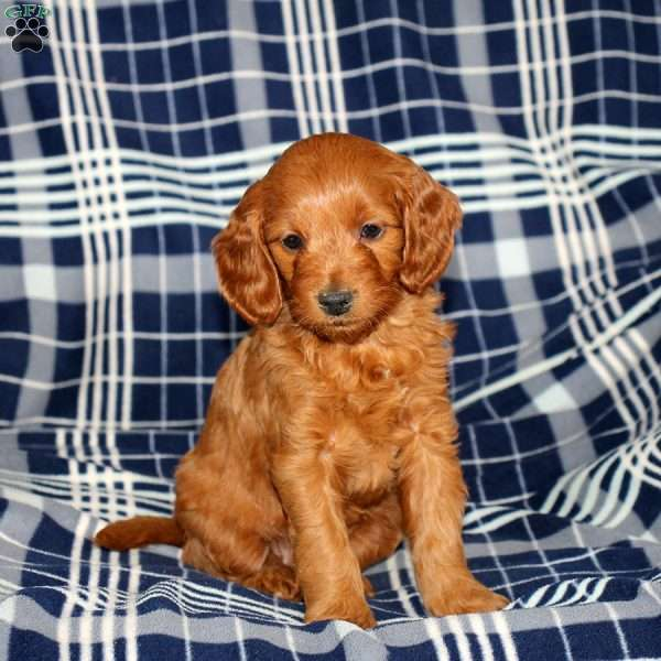 Janis, Mini Goldendoodle Puppy