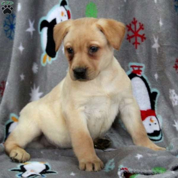 Jasper, Yellow Labrador Retriever Puppy