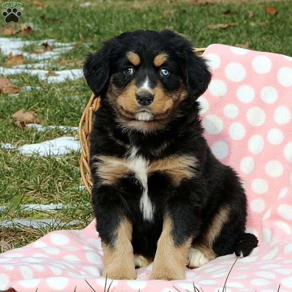 Jaxton Bernese Mountain Dog Mix Puppy For Sale In Pennsylvania
