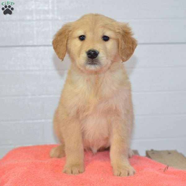 Jay, Golden Retriever Puppy