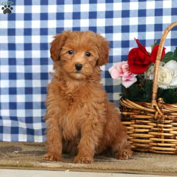 Jazzy, Mini Goldendoodle Puppy