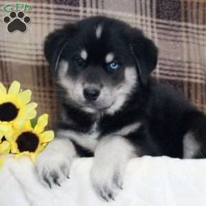 Goberian Puppies For Sale Goberian Dog Breed Info Greenfield Puppies