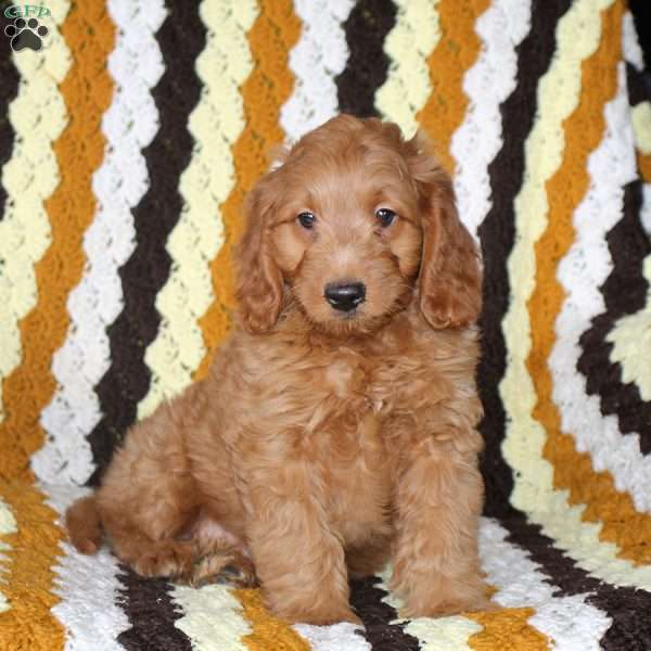 Jerry, Mini Goldendoodle Puppy