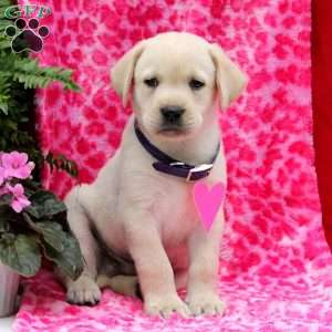Jimmy, Yellow Labrador Retriever Puppy
