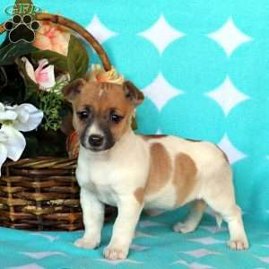 Jocelyn, Jack Russell Terrier Puppy