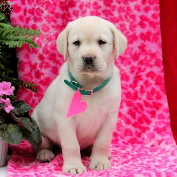 Jody, Yellow Labrador Retriever Puppy