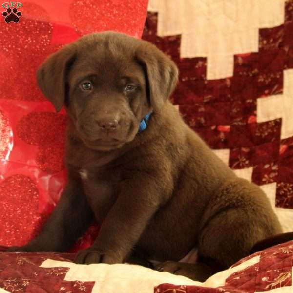 Johnny, Chocolate Labrador Retriever Puppy