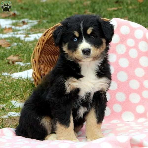 Josie Bernese Mountain Dog Mix Puppy For Sale In Pennsylvania