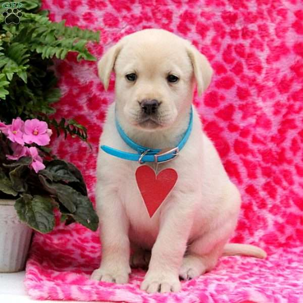 Judith, Yellow Labrador Retriever Puppy