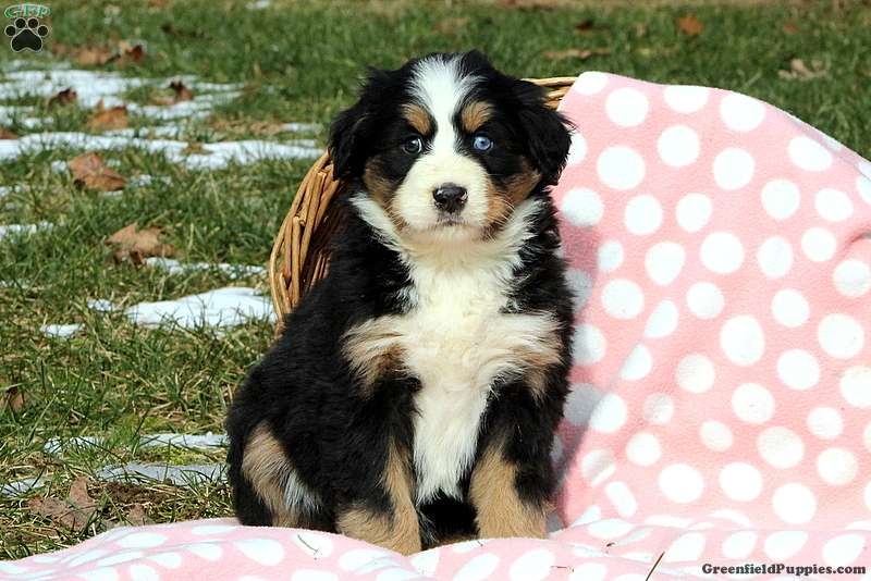 Juniper Bernese Mountain Dog Mix Puppy For Sale In