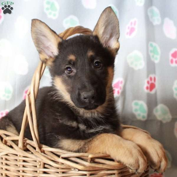 Kaloo, German Shepherd Puppy