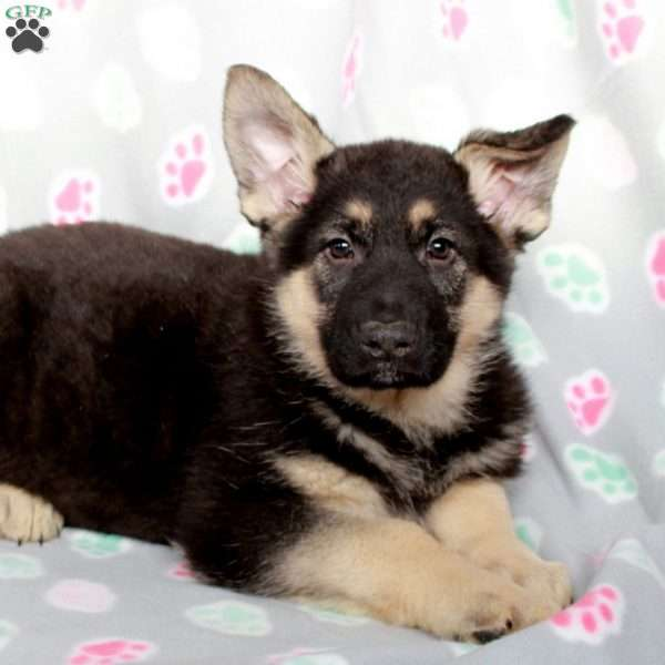 Kamden, German Shepherd Puppy