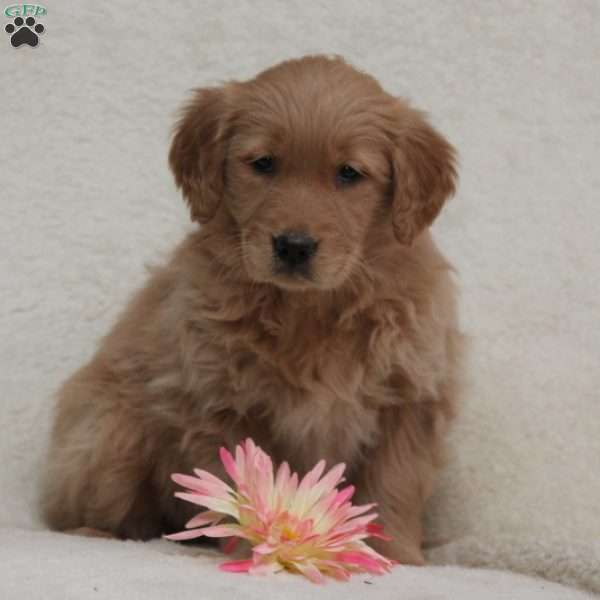 Kate, Golden Retriever Puppy