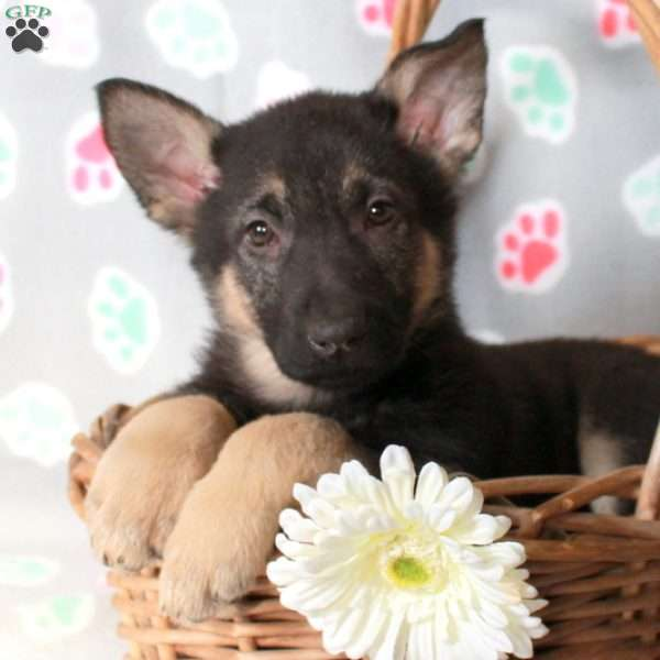 Kayla, German Shepherd Puppy