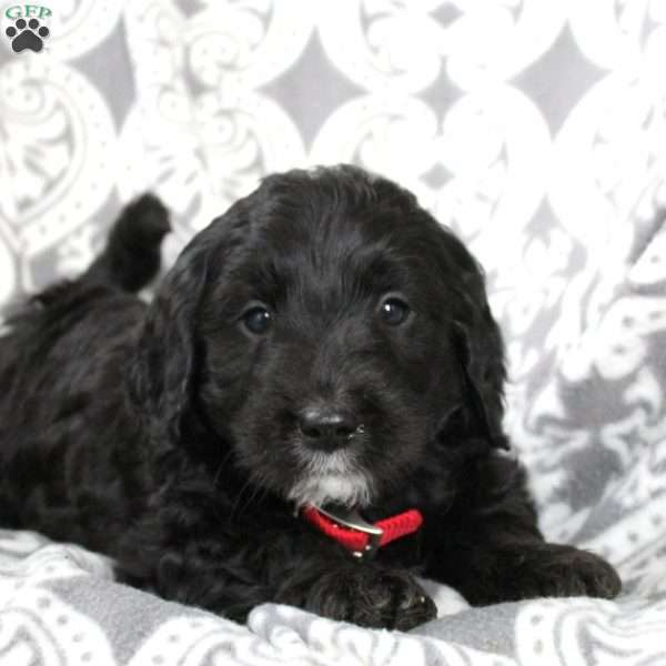 Kevin, Mini Goldendoodle Puppy