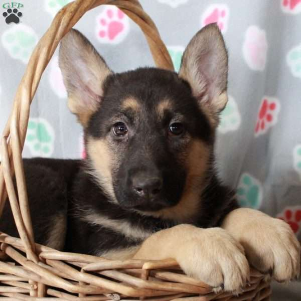 Kiki, German Shepherd Puppy
