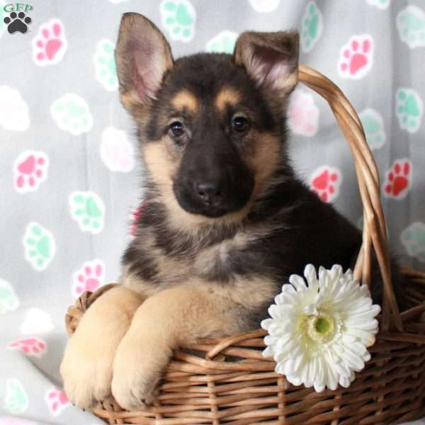 Koda, German Shepherd Puppy