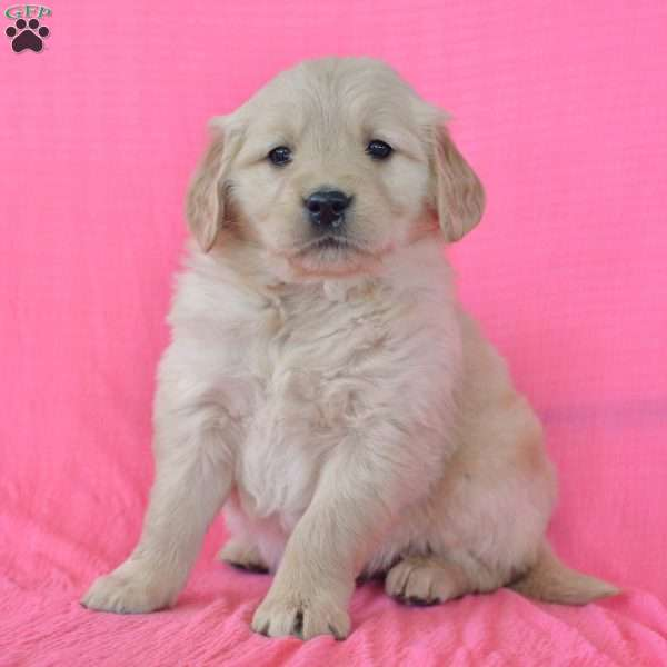 Lace, Golden Retriever Puppy