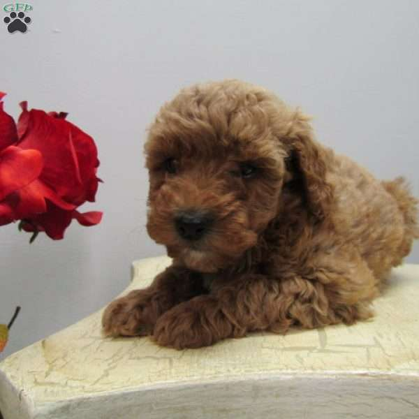 Lacey, Mini Goldendoodle Puppy