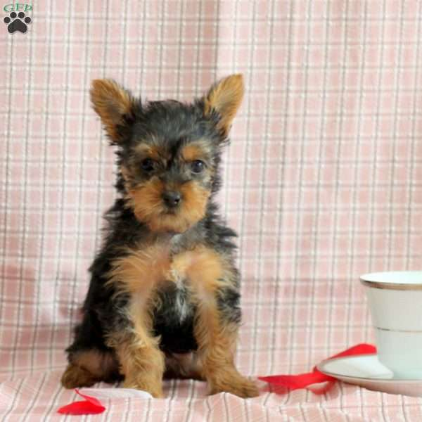 Lady Grey – Teacup, Yorkshire Terrier Puppy