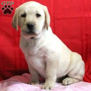 Lady, Yellow Labrador Retriever Puppy
