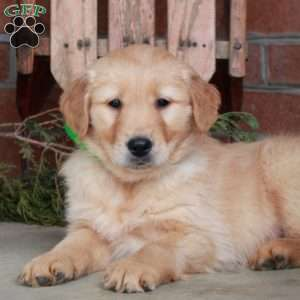Levi, Golden Retriever Puppy