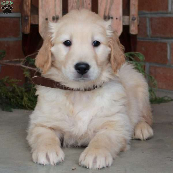 Liam, Golden Retriever Puppy