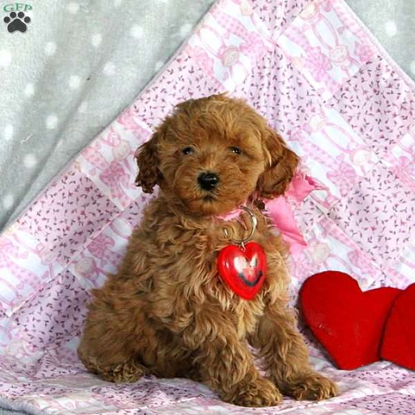 Lilah, Mini Goldendoodle Puppy