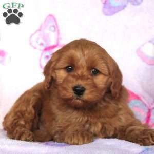 Lilly, Mini Goldendoodle Puppy