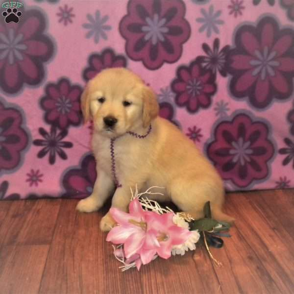 Lily, Golden Retriever Puppy