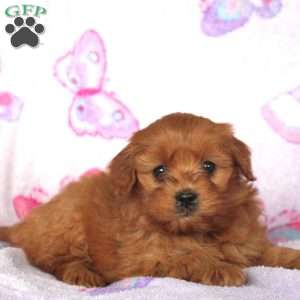 Lindsey, Mini Goldendoodle Puppy