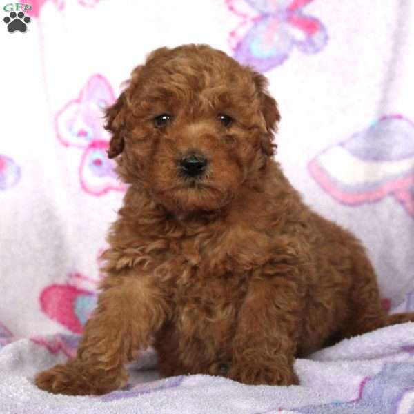 Loki, Mini Goldendoodle Puppy