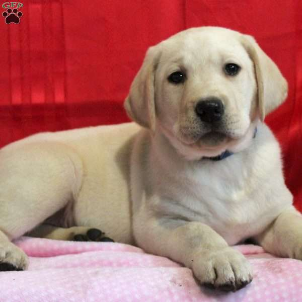 Luke, Yellow Labrador Retriever Puppy