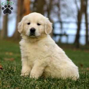 English Cream Golden Retriever Puppies For Sale Greenfield Puppies