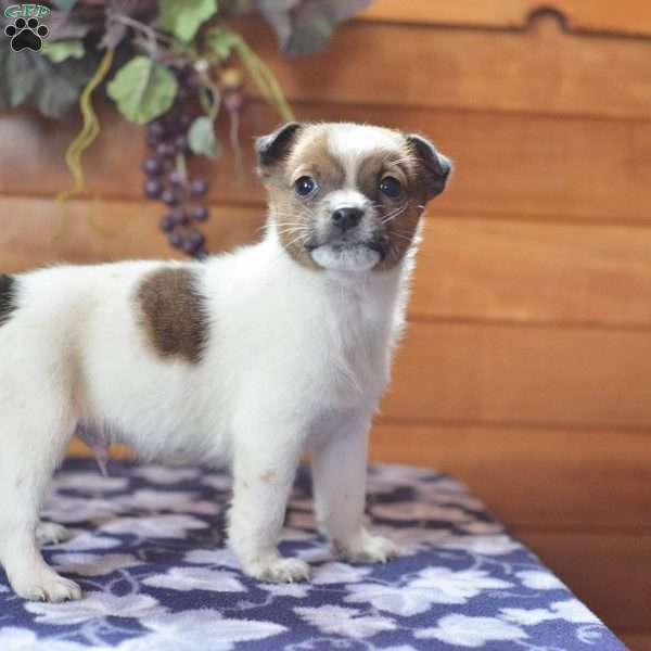 Manny, Jack Russell Terrier Puppy