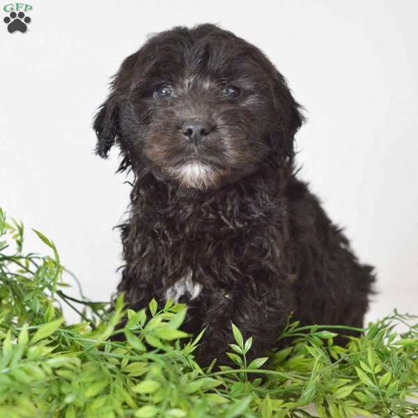 Marley, Mini Goldendoodle Puppy