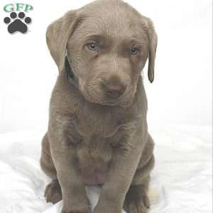 Silver Labrador Retriever Puppies For Sale Greenfield Puppies