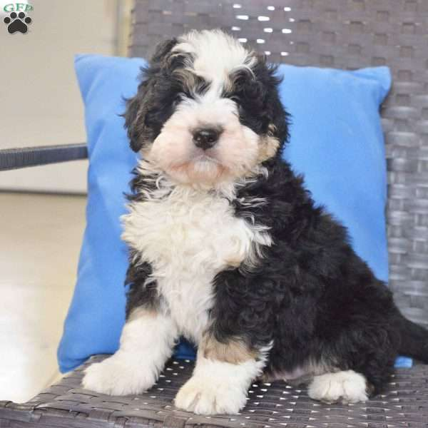 Max, Mini Bernedoodle Puppy