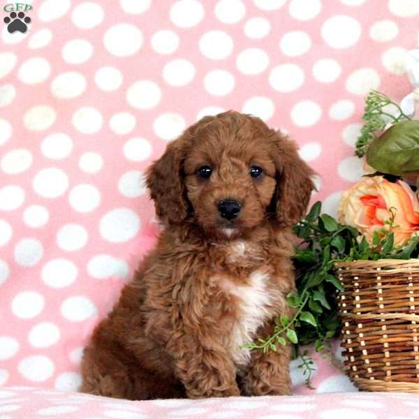 Maxwell, Mini Goldendoodle Puppy