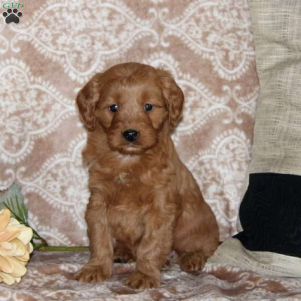 Melody, Mini Goldendoodle Puppy