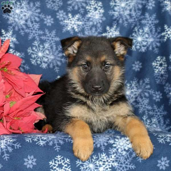 Melody, German Shepherd Puppy