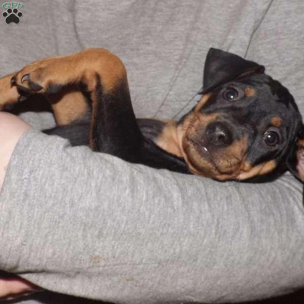 Midnight, Miniature Pinscher Puppy