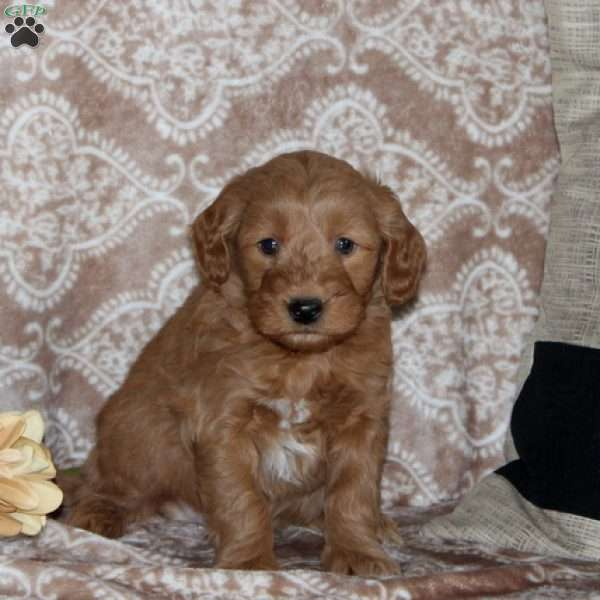 Mitch, Mini Goldendoodle Puppy