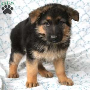 Mitzy, German Shepherd Puppy