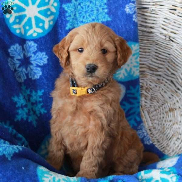 Nash, Mini Goldendoodle Puppy