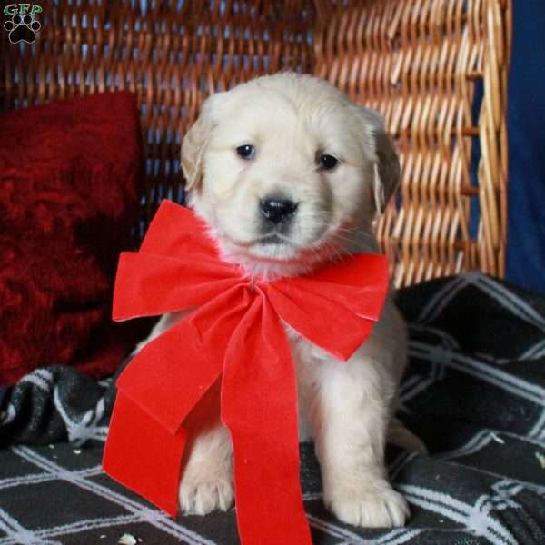 Natalia, Golden Retriever Puppy