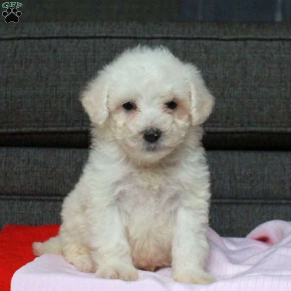 Natalie, Mini Goldendoodle Puppy