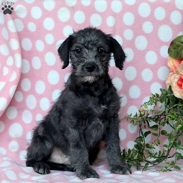 Nicky, Miniature Poodle Mix Puppy