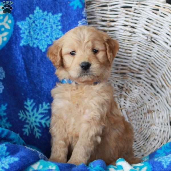 Nolan, Mini Goldendoodle Puppy