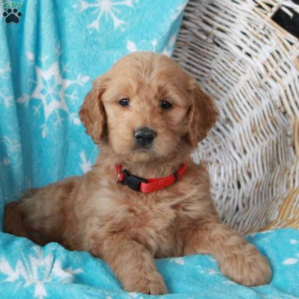 Norman, Mini Goldendoodle Puppy